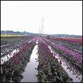 080430sakura_tulip2.jpg