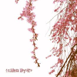 0893-120414kanazawa_sakura2.jpg