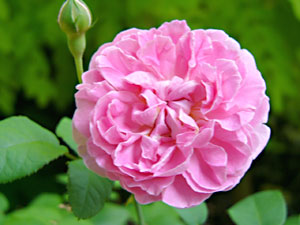 040701cottage_rose1.jpg