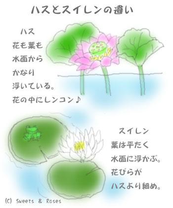 040712hasu_suiren1.jpg