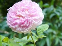 040526cottage_rose1.jpg