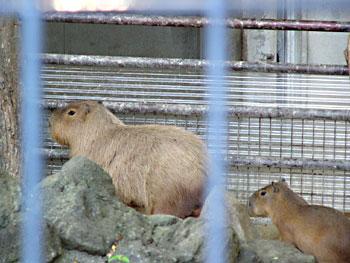 040819ueno_capybara4.jpg