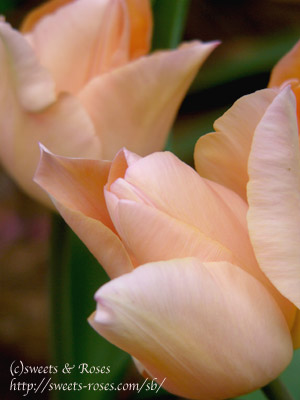050416tulip_apricot_beauty.jpg
