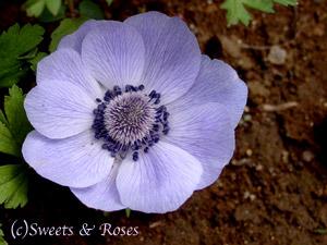 010505anemone_purple.jpg
