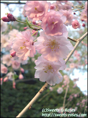 090211sakura.jpg