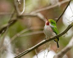 755px-Todus_multicolor_-Ciego_de_Avila_Province,_Cuba-8.jpg