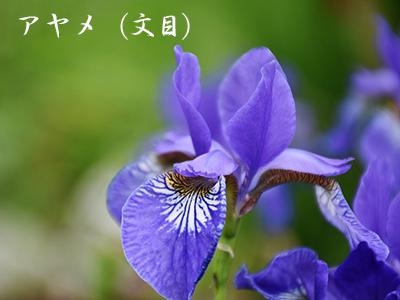 190427ayame2.jpg