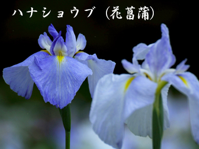 190427hana_syoubu2.jpg