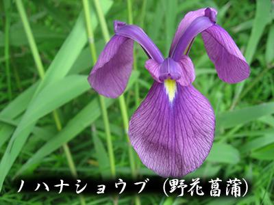 190427no_hana_syoubu2.jpg