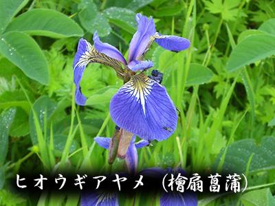 190427hiougi_ayame2.jpg
