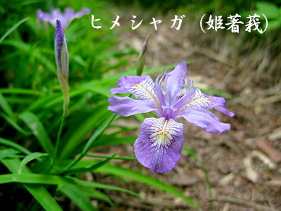 190427hime_shaga2.jpg