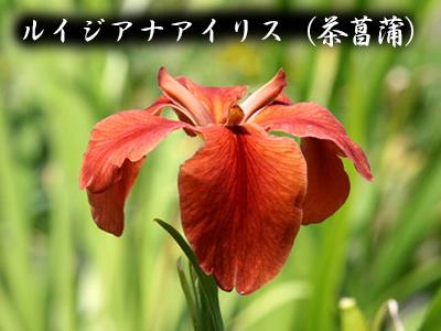 190427_cha_syoubu2.jpg