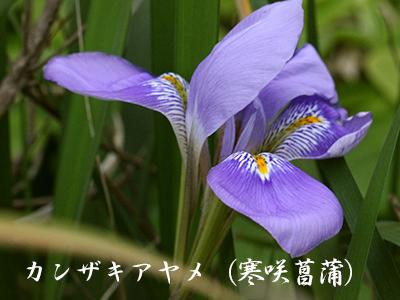 190427kanzaki_ayame2.jpg
