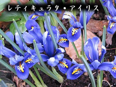 190427_iris_reticulata2.jpg