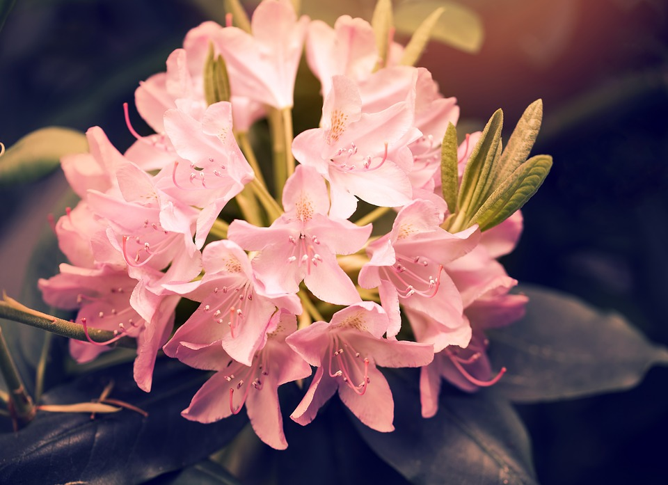 rhododendron-1189157_960_720.jpg