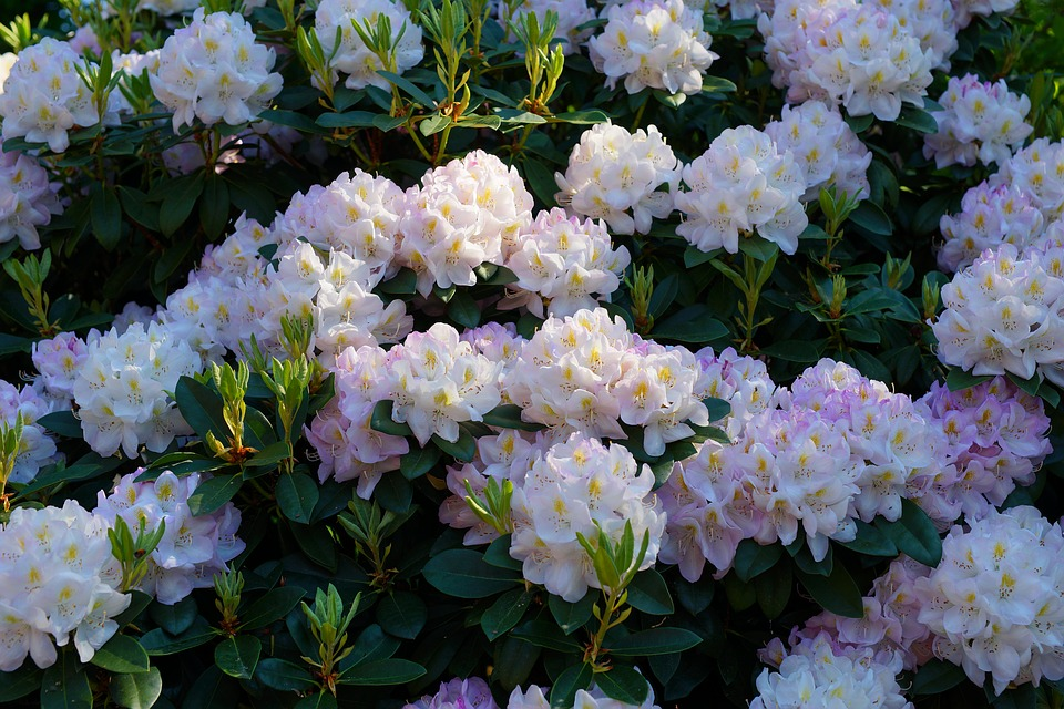 rhododendrons-3433342_960_720.jpg