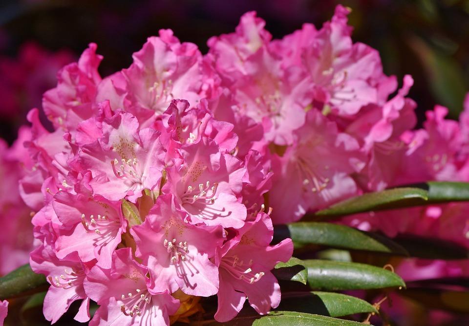 rhododendron-3415305_960_720.jpg