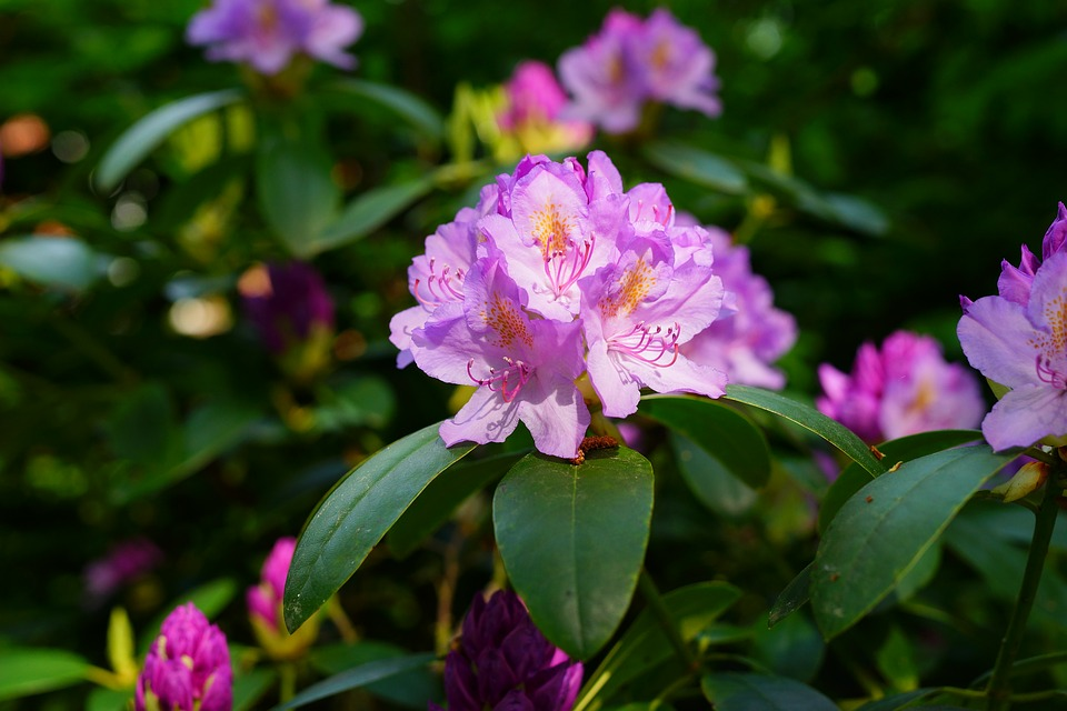 rhododendron-3393787_960_720.jpg