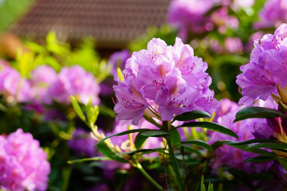 rhododendron-3413992_960_720.jpg