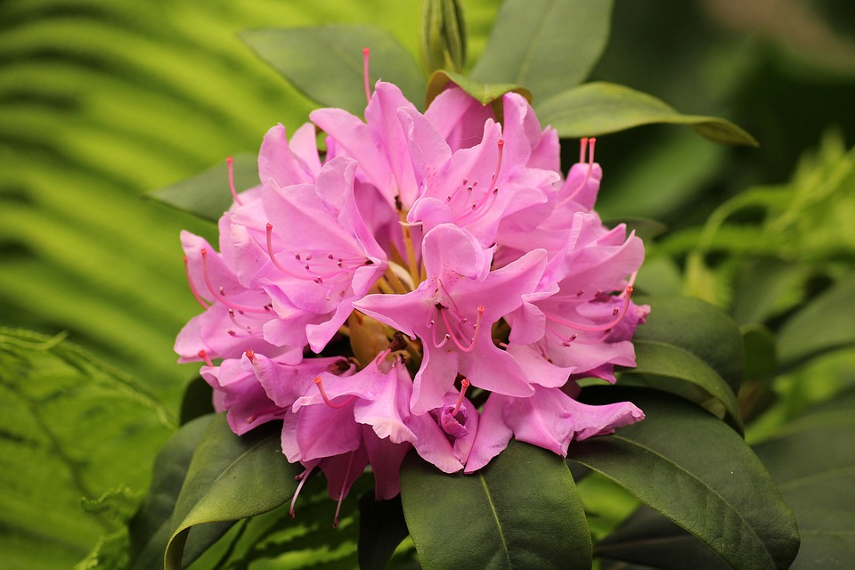 rhododendron-3388797_960_720.jpg