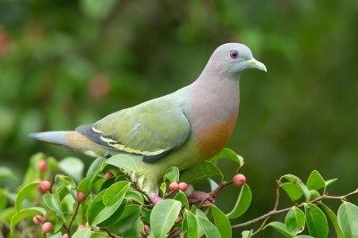 Pink-necked Green Pigeon1280px-Treron_vernans_male_-_Kent_Ridge_Park.jpg