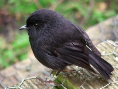 Black_Robin_on_Rangatira_Island.jpg